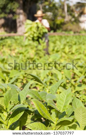 Cuban farmer collects the harvest of tobacco field, Vinales, Cuba - stock photo
