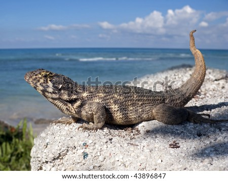 Cuban Iguana with sea background - stock photo