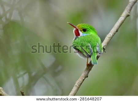 Cuban Tody, Todus multicolor, an endemic species of Cuba  - stock photo