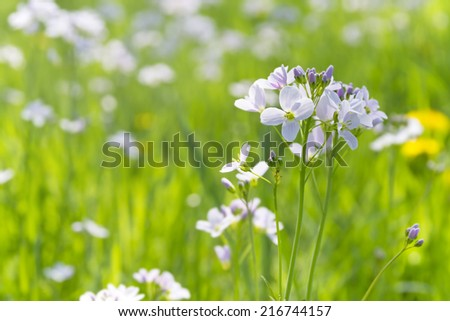 Cuckoo spring flower also known as Ladies smock in colorful meadow, shallow depth of filed - stock photo