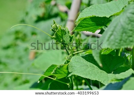 Cucumber, Cucumis sativus, tendril, cucumber vine, cultivate, gourd, vegetable garden, vegetable bed, vegetable plot, agriculture, edible plant, backyard garden, home-grown vegetable, organic farm - stock photo