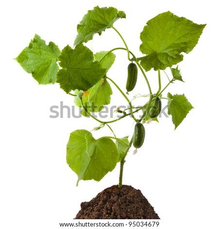 cucumber plant isolated on white background  - stock photo