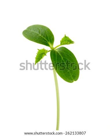 cucumber seedling isolated on white background - stock photo
