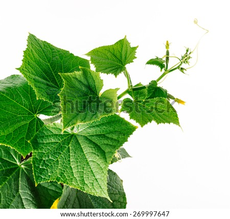 cucumber vine, young vegetable plant. Cucumbers - one of the oldest and most popular vegetable crops Cucumbers are ground and salad (long).  - stock photo