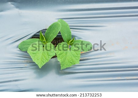 cucumbers seeding grown in rows with plastic mulching - stock photo