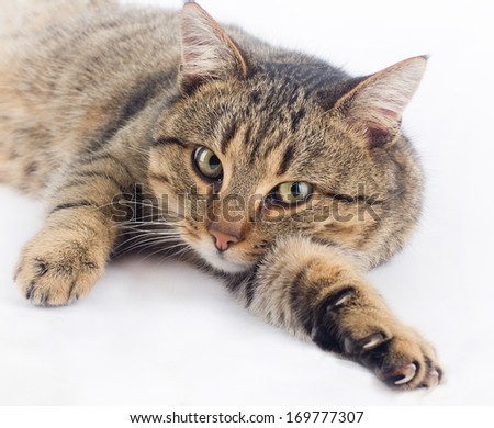 Cuddly cat lying on white background and looking at camera - stock photo