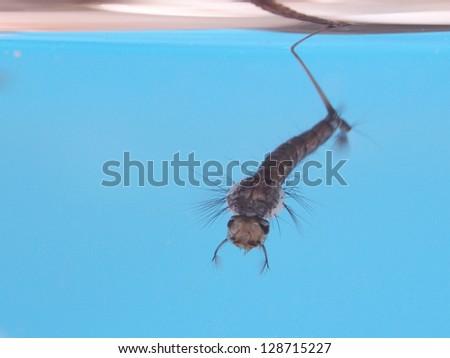Culex mosquito larva with blue background. - stock photo