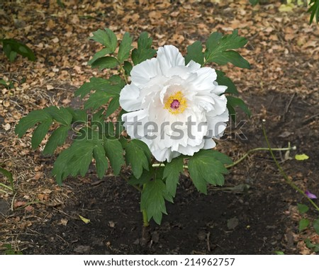 Cultivated hybrid peony  - stock photo