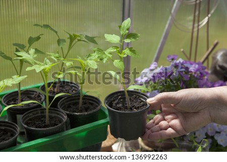 cultivating tomato plants in a private garden greenhouse. Hand holding tomato plant. - stock photo
