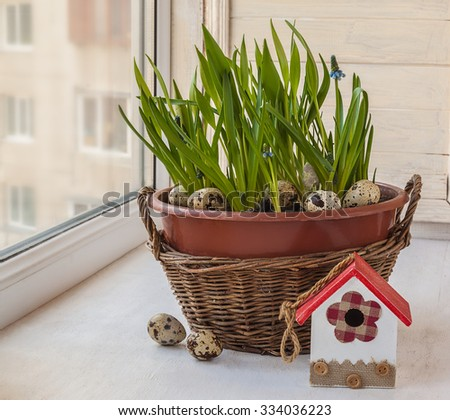 Cultivation muscari  in pots and in the rural baskets on the balcony window - stock photo