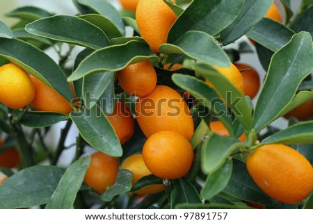 cultivation of citrus fruits of all kinds in a greenhouse in Sicily in Italy - stock photo