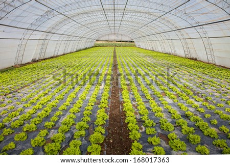 cultivation of lettuce in a greenhouse - stock photo