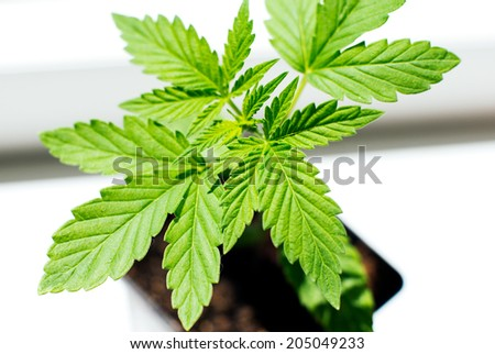 cultivation of marijuana and cannabis - stock photo