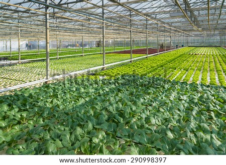 cultivation of vegetables in a greenhouse in the netherlands - stock photo