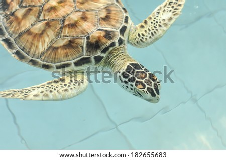 Cultured sea turtle - stock photo