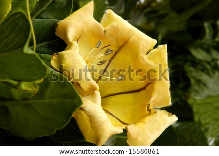 Cup of Gold flower blooms in the tropical setting of Kauai, Hawaii. - stock photo