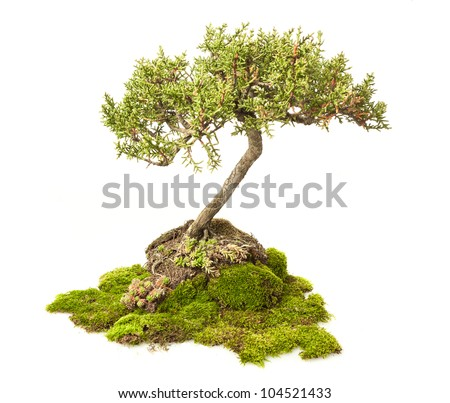 Cupressus sempervirens bonsai isolated on white - stock photo
