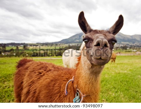 Curios South American Llamas - stock photo