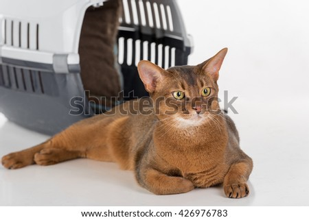 Curious Abyssinian cat and box. White background with reflection. - stock photo
