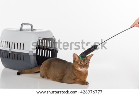 Curious Abyssinian cat and  box with woman hand and toy. White background with reflection. - stock photo