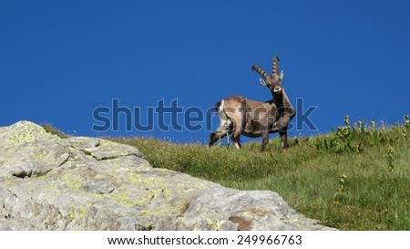 Curious alpine ibex - stock photo