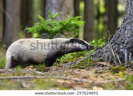 Curious badger - stock photo