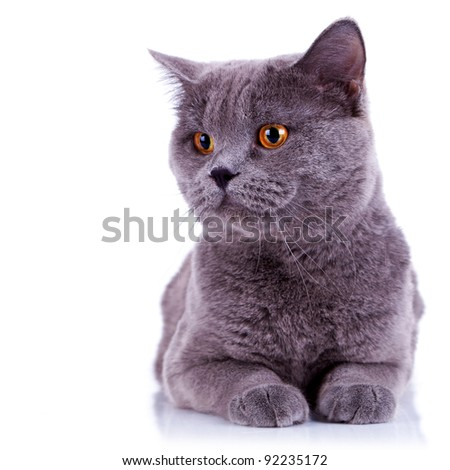 curious big english cat looking at something on white background - stock photo
