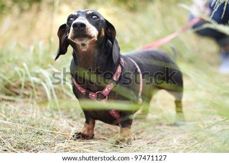 Curious black Dachshund dog breed in park - stock photo