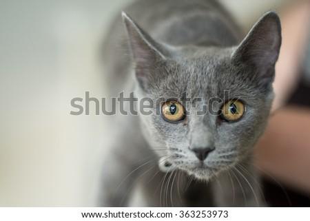 Curious blue cat - stock photo