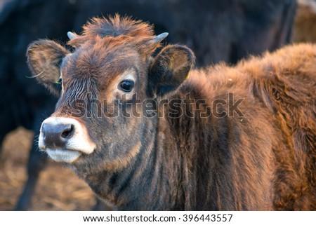 Curious brown calf - stock photo