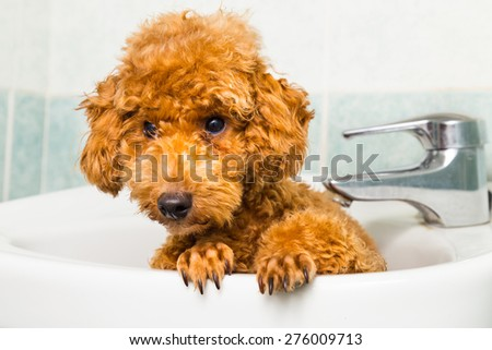 Curious brown poodle puppy getting ready for bath in basin - stock photo