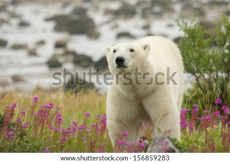 Curious Canadian Polar Bear walking in the colorful arctic tundra of the Hudson Bay near Churchill, Manitoba in summer, closing in on the photographer - stock photo