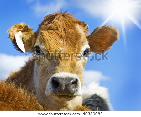 Curious cattle against sky and sun - stock photo