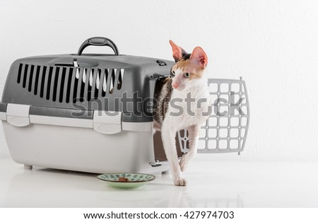 Curious Cornish Rex Cat going out of the box on the White table with Reflection. White Wall Background. Plate of food in Background. - stock photo