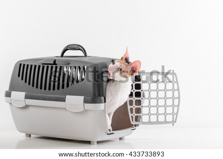 Curious Cornish Rex Cat Sitting in the Box on the White table with Reflection. White Wall Background. Eating - stock photo