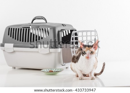 Curious Cornish Rex Cat Sitting on the White table with Reflection. White Wall Background. Box and plate of food in Background. - stock photo