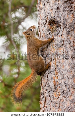 Curious cute American Red Squirrel, Tamiasciurus hudsonicus, climbing up a pine tree trunk - stock photo