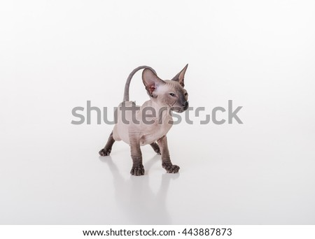 Curious Dark Very Young Peterbald Sphynx Cat Sitting on the white table with reflection and Ready to Attack - stock photo