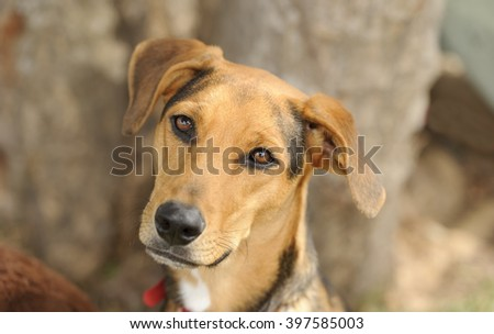 Curious dog is outdoors looking at you with his beautiful brown eyes. - stock photo
