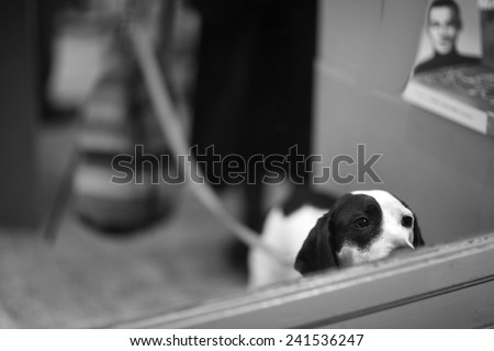 Curious dog on lead - stock photo