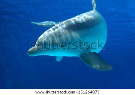 Curious dolphin                              - stock photo