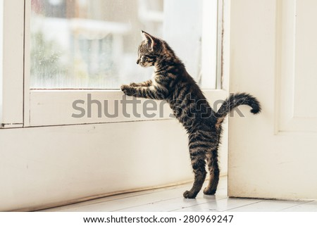 Curious Domestic Kitten with Gray Stripe Hair Looking the Outside View Through Glass Window at Home. - stock photo