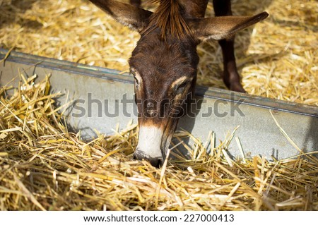 Curious donkey eating hay in a paddock in Skorino farm, Cyprus. Close-up portrait photo - stock photo