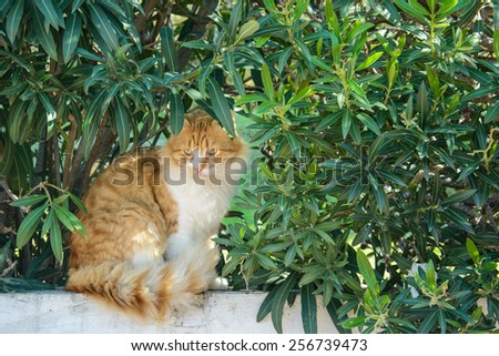 Curious fluffy ginger and white tabby cat sitting among the bushes - stock photo