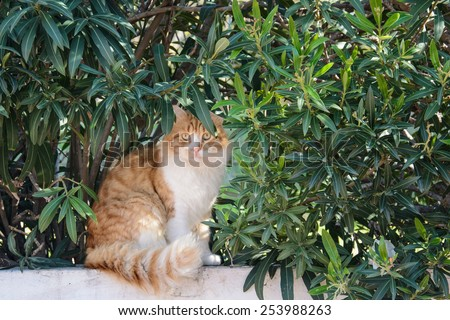 Curious fluffy ginger and white tabby cat sitting among the bushes looking at the camera - stock photo