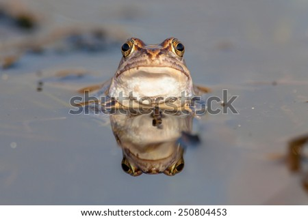 Curious head of a Moor frog (Rana arvalis) emerging just above the waterline during mating season in early spring - stock photo