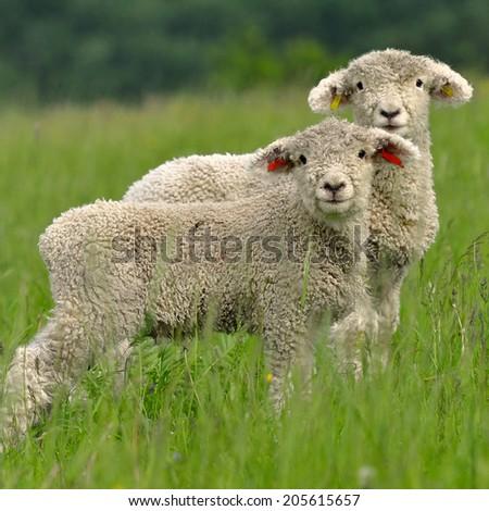 curious lambs - stock photo