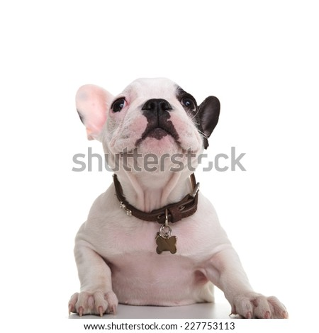 curious little french bulldog puppy looking up at something on white background - stock photo