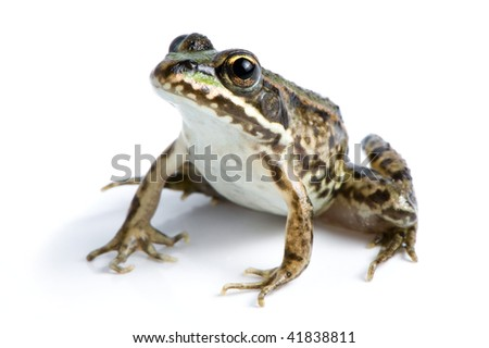 Curious little frog - stock photo