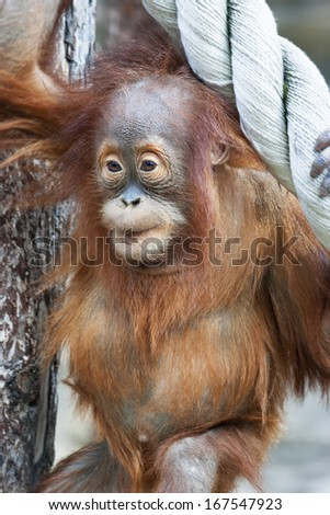 Curious look of an orangutan baby, hanging on the thick rope. A little great ape is going to be an alpha male. Human like monkey cub in shaggy red fur. Beauty of the wildlife. - stock photo